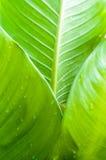 Bananblad med vattendroppe Fotografering för Bildbyråer