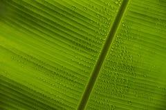 Bananblad och daggCloseup arkivfoto