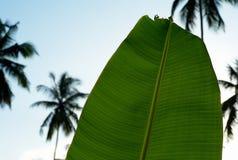 Bananblad och palmträd arkivfoto