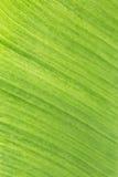 Bananbladbakgrund Royaltyfri Bild