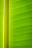 Bananbladbakgrund Royaltyfri Fotografi