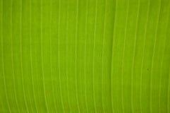 Bananbladbakgrund Arkivfoto
