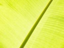 Bananbladdetalj Fotografering för Bildbyråer