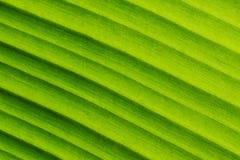 Bananbladet texturerar uppvisning av den naturliga åder, lutningbakgrund Royaltyfria Bilder