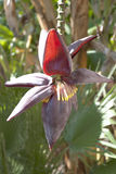 bananblomma Royaltyfria Bilder