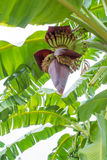 Bananblomma arkivbilder