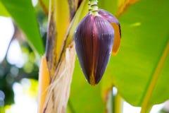 Bananblomma omkring som blommar arkivbild