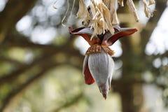 Bananblommor som hänger på ett bananträd Arkivfoton