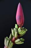 bananblomning Royaltyfri Foto