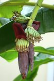 Bananblomning Royaltyfria Foton