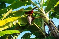 Bananblomning Arkivbilder