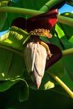 Bananblomning Royaltyfri Bild