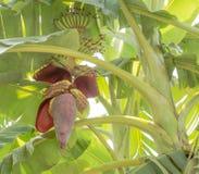 Bananblomning Arkivfoto
