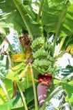Bananblomning Fotografering för Bildbyråer