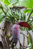 Bananblomning Royaltyfri Fotografi