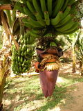 Bananbråckband Royaltyfri Fotografi