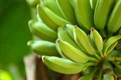 Banane auf Baum Lizenzfreies Stockfoto
