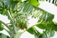 Banane auf Baumweißhintergrund Stockfotografie