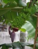 Banane crescenti Fotografia Stock Libera da Diritti