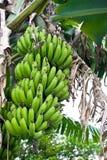 Banane crescenti dell'albero di banana Fotografia Stock Libera da Diritti