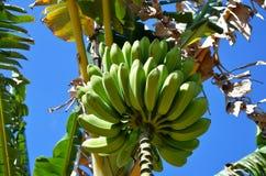 Banane cubane immagine stock