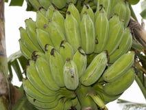 Banane cultivée Photos libres de droits