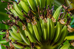 Banane de bébé Images stock