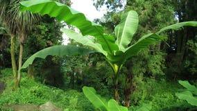 Banane de Bush clips vidéos
