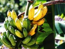 Banane de Kepok Photos stock
