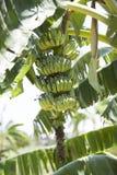 Banane de plantain Images libres de droits