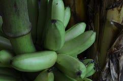 Banane de vert de MAS de Pisang Photos stock
