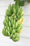 Banane di maturazione del mazzo sull'albero Fotografia Stock