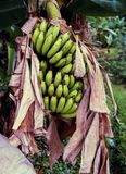 Banane di Unriped sull'albero fotografia stock libera da diritti