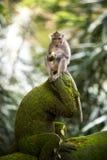 Banane, die Affen isst Lizenzfreie Stockfotografie