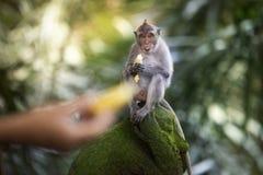 Banane, die Affen isst Stockbild