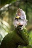 Banane, die Affen isst Lizenzfreie Stockfotos