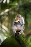Banane, die Affen isst Lizenzfreies Stockbild