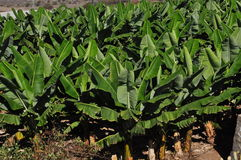 Banane, jardin de bananes Image libre de droits