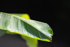 Banane leaf Royalty Free Stock Image