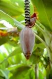 Banane mit einer Blüte Stockbild