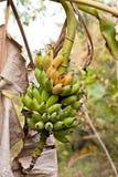Banane in natura Fotografie Stock