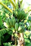 Banane nel giardino Fotografia Stock