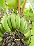 Banane non mûre d'ongle Image libre de droits