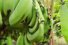 Banane non mûre d'ongle Image stock