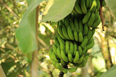 Banane non mûre robusta Photo libre de droits
