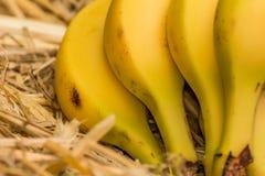 """Banane organiche, †latino """"musa Frutti della banana sul fondo naturale della paglia Immagine Stock Libera da Diritti"""