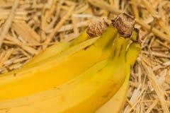 """Banane organiche, †latino """"musa Frutti della banana sul fondo naturale della paglia Immagini Stock Libere da Diritti"""