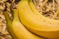 """Banane organiche, †latino """"musa Frutti della banana sul fondo naturale della paglia Immagine Stock"""