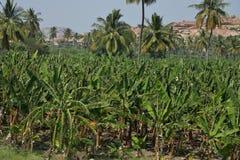 Banane ou Musa, plantation près de Hampi, Karnataka, Inde Photos libres de droits