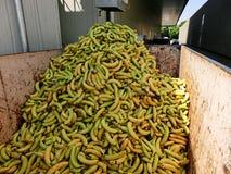 Banane in recipiente Fotografie Stock Libere da Diritti